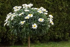 Leucanthemum flowers, small tree Royalty Free Stock Images