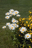 Leucanthemum maximum Royalty Free Stock Image