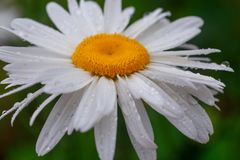Leucanthemum maximum Shasta daisy, max chrysanthemum, Crazy Daisy, daisy wheel, daisy chain, chamomel, gang bang in the garden in Royalty Free Stock Image