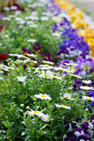 Leucanthemum paludosum, Flower-beds in the spring in Japan Royalty Free Stock Photography