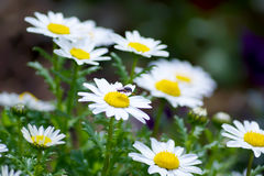 Leucanthemum paludosum, Flower-beds in the spring in Japan Stock Image