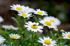 Leucanthemum paludosum, Flower-beds in the spring in Japan Royalty Free Stock Photos