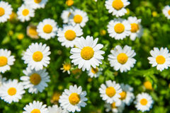 Leucanthemum Paludosum Royalty Free Stock Photo
