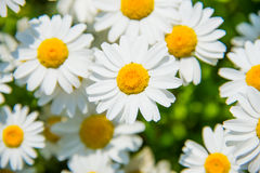 Leucanthemum paludosum Royalty Free Stock Photos