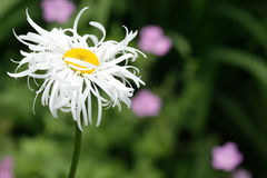 Leucanthemum Stock Images