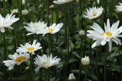 Leucanthemum  superbum Stock Images