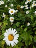 Leucanthemum superbum daisy closeup royalty free stock image