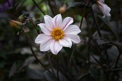 Leucanthemum x superbum evergreen. stock photo