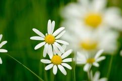 Leucanthemum vulgare雏菊 免版税库存图片