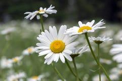 Leucanthemum vulgare łąk dzicy kwiaty z białymi płatkami i kolor żółty ześrodkowywają w kwiacie zdjęcia stock