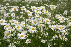 Leucanthemum vulgare łąk dzicy kwiaty z białymi płatkami i kolor żółty ześrodkowywają w kwiacie obraz royalty free