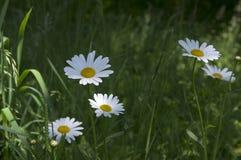 Leucanthemum vulgare łąk dziki kwiat z białymi płatkami i kolor żółty ześrodkowywamy w kwiacie Fotografia Stock