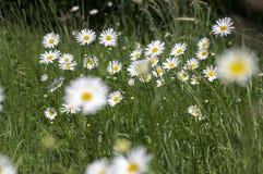 Leucanthemum vulgare łąk dziki kwiat z białymi płatkami i kolor żółty ześrodkowywamy w kwiacie zdjęcia royalty free