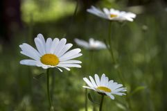 Leucanthemum vulgare łąk dziki kwiat z białymi płatkami i kolor żółty ześrodkowywamy w kwiacie zdjęcie stock