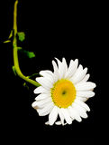 Leucanthemum vulgare, η ox-eye μαργαρίτα ή oxeye μαργαρίτα Στοκ Φωτογραφία