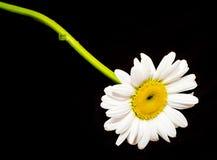Leucanthemum vulgare, η ox-eye μαργαρίτα ή oxeye μαργαρίτα Στοκ Εικόνες