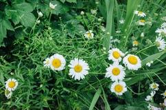 Leucanthemum vulgare, bia?a stokrotka w pe?nym kwiacie w ogr?dzie/ zdjęcia stock