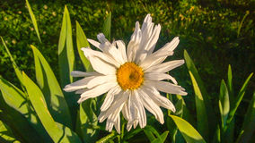Leucanthemum vulgare. Daisy. Stock Photography