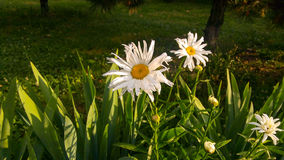 Leucanthemum vulgare. Daisy. Stock Photo