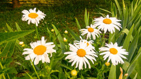 Leucanthemum vulgare. Daisy. Royalty Free Stock Images