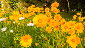 Leucanthemum vulgare. Daisy. Royalty Free Stock Image