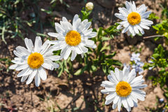 Leucanthemum vulgare flowers in Sicily Stock Images