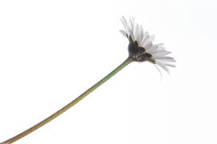 Leucanthemum vulgare Royalty Free Stock Photos
