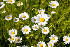 Leucanthemum vulgare Stock Photos