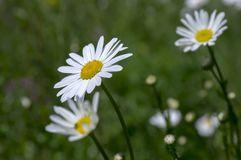 Leucanthemum vulgare meadows wild flower with white petals and yellow center in bloom. Green background royalty free stock photo