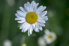 Leucanthemum vulgare meadows wild flower with white petals and yellow center in bloom, macro detail Stock Image