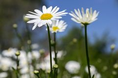 Leucanthemum vulgare meadows wild flower with white petals and yellow center in bloom Stock Photography