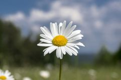 Leucanthemum vulgare meadows wild single flower with white petals and yellow center in bloom stock images