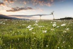 Leucanthemum vulgare Ox-eye Daisy. On the Muir of Dinnet in Scotland royalty free stock photos