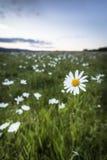 Leucanthemum vulgare Ox-eye Daisy. On the Muir of Dinnet in Scotland Stock Image