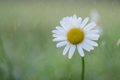Leucanthemum vulgare Stock Photography