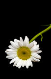Leucanthemum vulgare, the ox-eye daisy or oxeye daisy Royalty Free Stock Photos