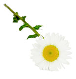Leucanthemum vulgare, the ox-eye daisy or oxeye daisy. (syn. Chrysanthemum leucanthemum), close up, white background royalty free stock photography