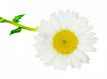 Leucanthemum vulgare, the ox-eye daisy or oxeye daisy Stock Image