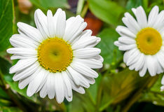 Leucanthemum vulgare, the ox-eye daisy or oxeye daisy (syn. Chrysanthemum leucanthemum). Close up royalty free stock images