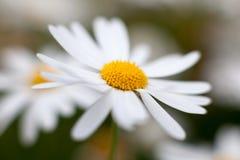 Leucanthemum vulgare, oxeye daisy Royalty Free Stock Image