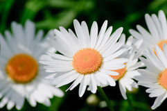 Leucanthemum vulgare Stock Photo