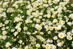 Leucanthemum vulgare Royalty Free Stock Image