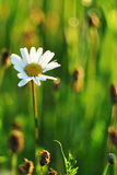 Leucanthemum vulgare. Typical meadow flower blossom close up Stock Images