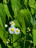Leucanthemum vulgaris Obrazy Royalty Free