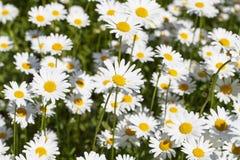 Leucanthemumvulgare, blommor som blommar i en äng, slut upp Arkivbilder