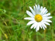 Leucanthemus vulgaris Stock Photography