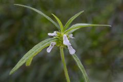 Leucas roślina z kwiatami Obrazy Stock