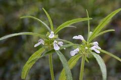 Leucas rośliny z kwiatami Zdjęcie Stock