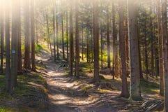 Leuchte des Waldpfades morgens Stockfotografie