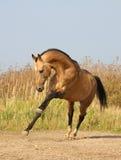 Leuchte-Dun akhalteke Pferd Stockfoto